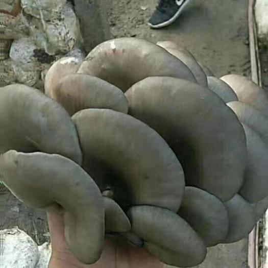 遼寧省朝陽市凌源市 平菇鮮蘑
