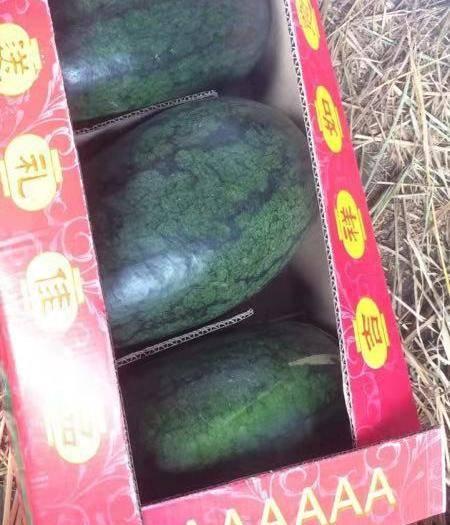 云南省紅河哈尼族彝族自治州蒙自市黑美人西瓜 口感甜,讓人根本甜不下來