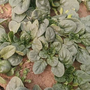 精品小菠菜又便宜了机不可失,失不再来大叶园叶地趴型大量上市