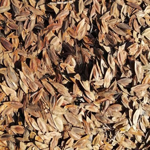 河北省唐山市樂亭縣杜仲種子 自家門前杜仲樹,親自打種子,保證質量