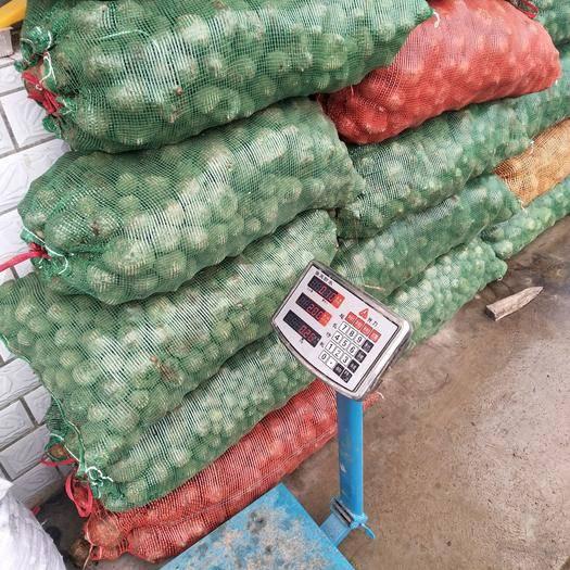 貴州省安順市平壩區 貴州本地魔芋種,成活力高,高產,