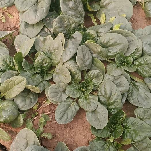 河南省开封市杞县 千亩精品小棵菠菜大叶园叶地趴型已大量上市