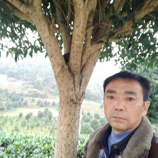 貴州省遵義市紅花崗區普通桂花樹 精品桂花10一18公分