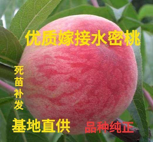 山东省临沂市平邑县 优质嫁接水密桃树苗 基地直供 现挖现发 不比价格 只发真苗