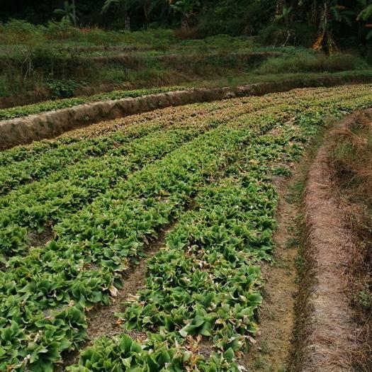 廣東省茂名市高州市山柰 沙姜/山奈自家農場大量供應。