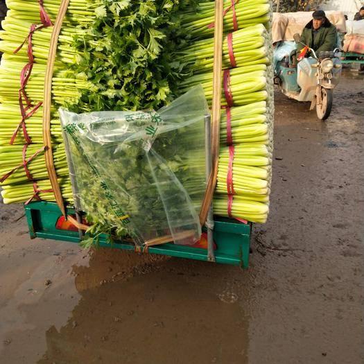 河北省邯鄲市叢臺區 河北邯鄲芹菜大量上市,價格便宜,品種多多