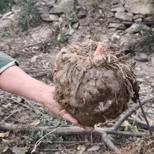 云南省迪慶藏族自治州香格里拉市 出售魔芋種子    商品芋