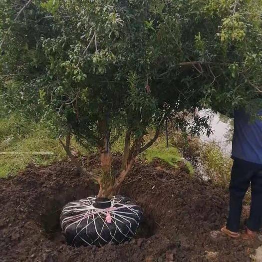 云南省紅河哈尼族彝族自治州蒙自市造型石榴樹 云南省紅河州蒙自市大量供應石榴樹,什么規格都有,有叢生和直桿