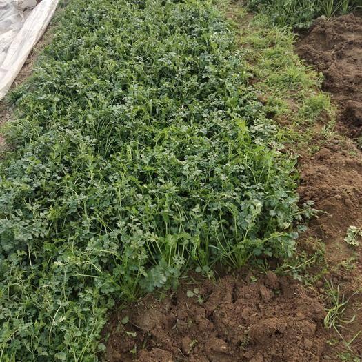 山東省濰坊市安丘市 有機綠色種植的香菜