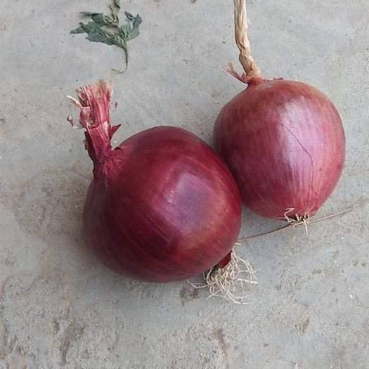 河北省石家莊市藁城區 紫皮洋蔥