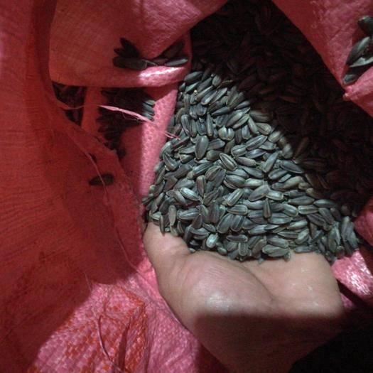 廣西壯族自治區桂林市七星區油葵 顆粒飽滿,出油率高,親們可以放心購買!!!
