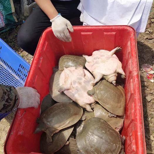 湖南省常德市澧縣外塘甲魚 1-3斤