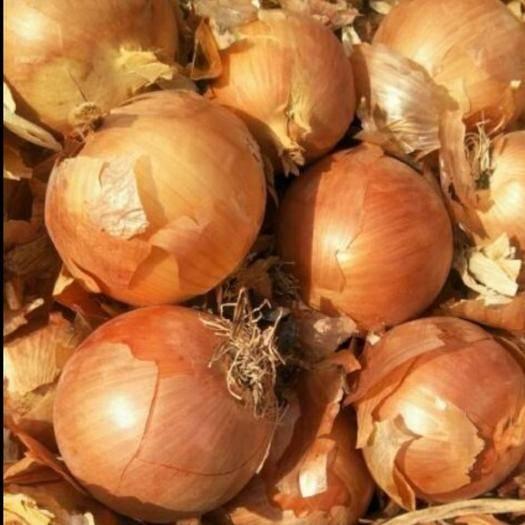 河北省石家莊市藁城區 庫存甘肅黃皮洋蔥質量好,價格優,存儲量大,有需求聯系