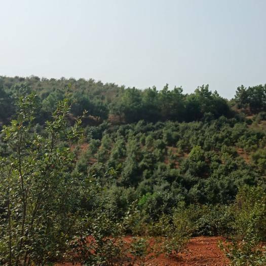 江西省宜春市樟樹市有林地 油茶林地