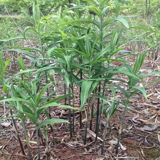 重慶市萬州區黃精種苗