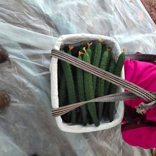 云南省楚雄彝族自治州元謀縣 來自云南高原中的天然溫室精品優質黃瓜五百畝地的生態基地,