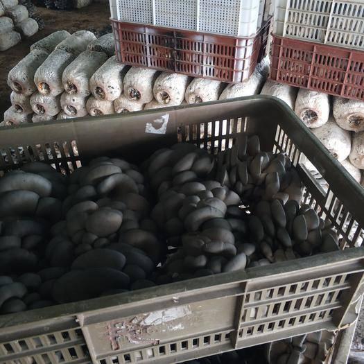 湖北省武漢市江夏區鮮平菇 6cm~8cm