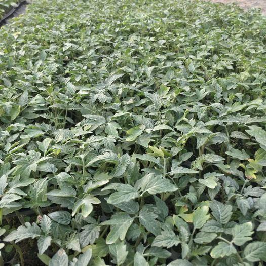 廣東省惠州市惠城區大紅番茄苗 嫁接番茄苗