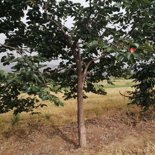 山西省运城市盐湖区柿子树接穗 柿子树价格,各种规格柿子树产地出售