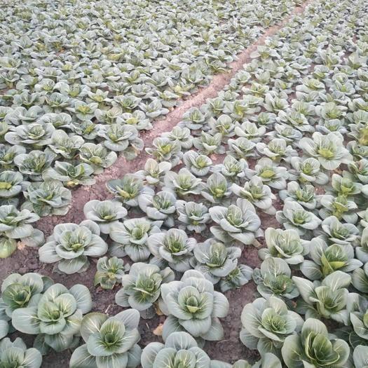 江蘇省泰州市泰興市蘇州青白菜 上海青蘇州青純有機肥種植無任何殘留農家露天原生態經過三次霜的