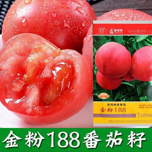 福建省漳州市南靖縣硬粉番茄種子 金粉188番茄種子 農田基地高產雜交早熟耐熱硬果大西紅柿