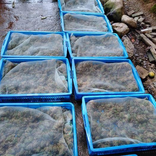 湖南省長沙市長沙縣黑斑蛙 人工養殖