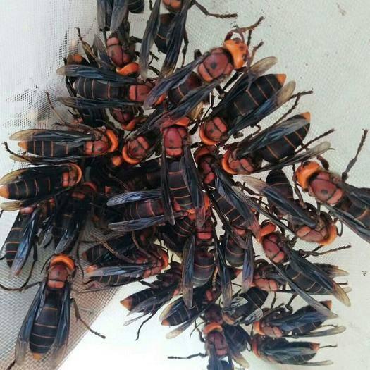 云南省文山壯族苗族自治州廣南縣黃金虎頭蜂 正宗紅娘虎頭蜂蜂王,有需要的老板聯系我