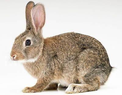 江蘇省徐州市新沂市比利時兔 比利時幼兔 種兔保健康,包成活!運輸死亡包賠!