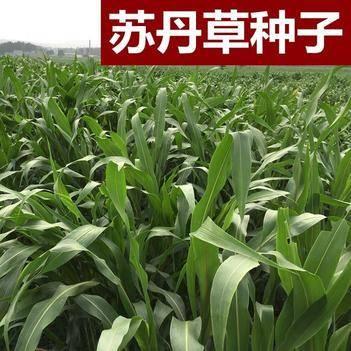 苏丹草种子优质进口高产鱼草草籽猪牛羊家禽饲料牧草草籽