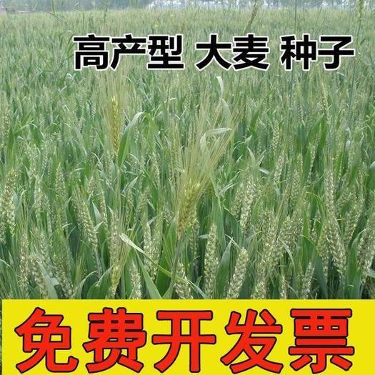 江蘇省宿遷市沭陽縣 大麥種子農作物種子牧草綠色有機糧食綠肥種子優質燕麥種子包郵