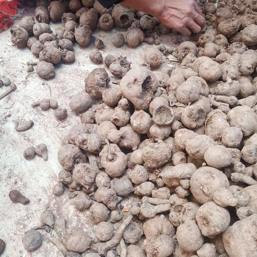 云南省楚雄彝族自治州武定縣 一代花魔芋種子,二代種子。