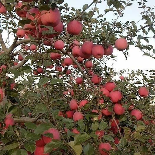 甘肅省定西市通渭縣 紅富士蘋果(Φ70mm以下)招商