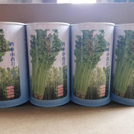 河北省邯鄲市永年區 四季小香芹種子,山芹 大田菜園高產生長快纖維少