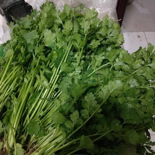 河北省衡水市武邑縣 出售200畝地香菜