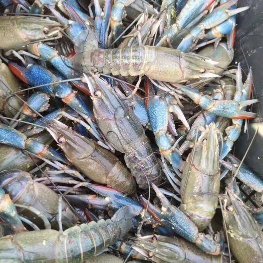 海南省三亞市天涯區 澳洲龍蝦商品蝦種蝦種苗藍龍蝦