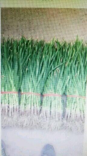 江蘇省泰州市泰興市 自產自銷十萬斤蒜苗,全農家肥種植預計產量10萬斤