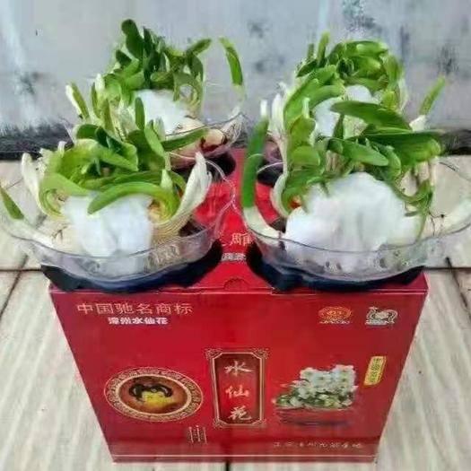 福建省漳州市龍海市 禮盒雕刻水仙,四裝,個別偏遠地區不包郵