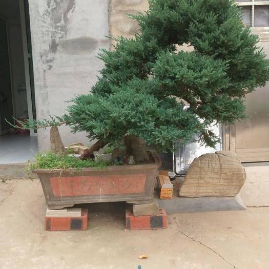 江蘇省徐州市新沂市造型榆樹 家有榆錢樹,年年有錢余