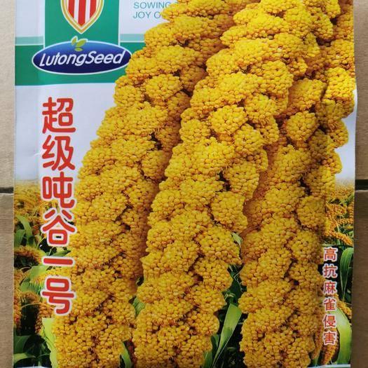 河北省邯鄲市永年區小米種子 頓谷一號  高產 抗麻雀 抗倒伏 優質谷種