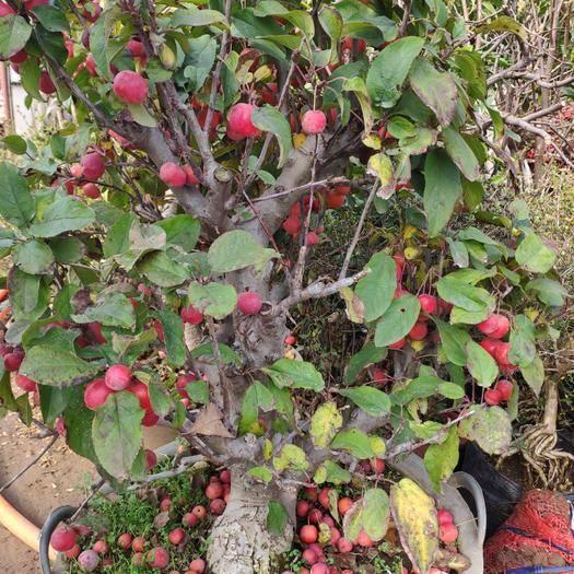 山東省臨沂市平邑縣造型海棠 盆景海棠,適合庭院種植,18年大苗,可視頻選貨
