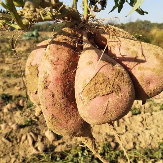 江西省景德鎮市樂平市沙地紅薯 1-3兩