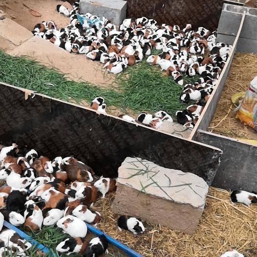 江蘇省徐州市新沂市荷蘭鼠 剛崛起的新行業,早干早賺。誰做的早誰盈利