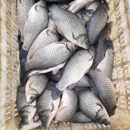 湖北省武漢市東西湖區 中科三號優良品種鯽魚,垂釣的最好之選