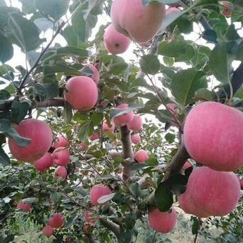 天水洛川蘋果