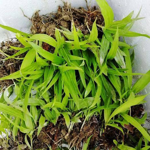 安徽省池州市貴池區紫花白芨苗 紫花三叉巨莖白芨