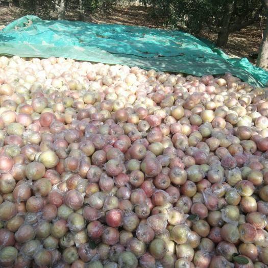 河北省邯鄲市曲周縣 紅富士蘋果,口感特別好,特別甜