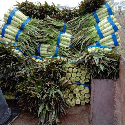 安徽省宿州市埇橋區紅葉香萵苣 1.5~2.0斤 50-60cm