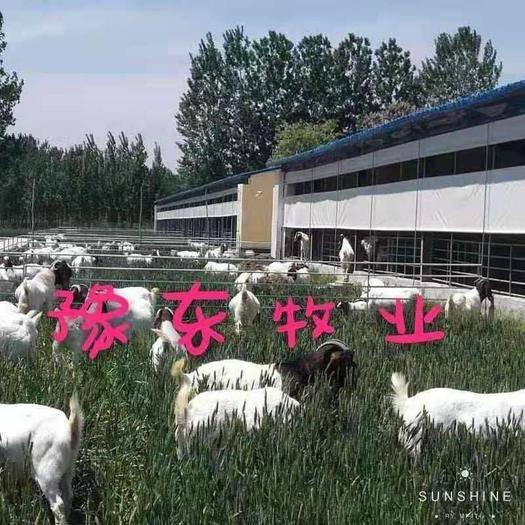 河南省商丘市寧陵縣 豫東牧業波爾山羊