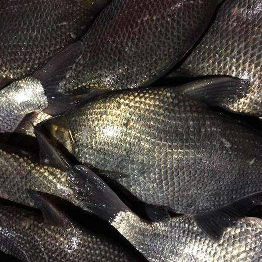 湖北省武漢市東西湖區 精品大鳊魚,2斤至3斤規格,腌制和垂釣的不二之選