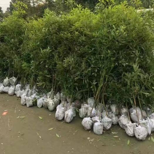 四川省宜賓市敘州區樟樹苗